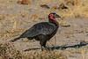 Southern ground hornbill (Bucorvus leadbeateri