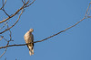 Ring-necked Dove (Streptopelia capicola),