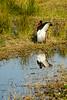 Saddle-billed stork (Ephippiorhynchus senegalensis)