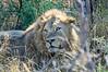 Male lion (Panthera leo)