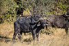 African buffalo or Cape buffalo (Syncerus caffer)