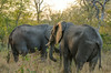 African elephants are listed as vulnerable by the IUCN, while the Asian elephant is classed as endangered. One of the biggest threats to elephant populations is the ivory trade