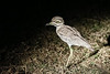 Water thick-knee (Burhinus vermiculatus)