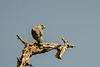 Lizard Buzzard (Kaupifalco monogrammicus)