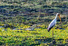 Yellow-billed stork (Mycteria ibis) and Nile Crocodiles  (Crocodylus niloticus)