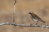 White-browed Sparrow-Weaver (Plocepasser mahali)