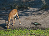 Impala and glossy ibis at the water's edge