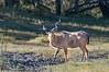 Male Greater kudu (Tragelaphus strepsiceros)