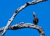 Grey Go-away-bird (Corythaixoides concolor), also known as Grey Lourie