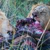 Lions Feasting