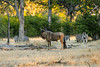 Blue wildebeest (Connochaetes taurinus), also called the common wildebeest, white-bearded wildebeest or brindled gnu