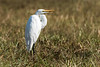 Great egret (Ardea alba),