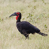 Southern-ground Hornbill