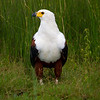 African-fish Eagle