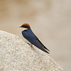 Wire-tail Swallow