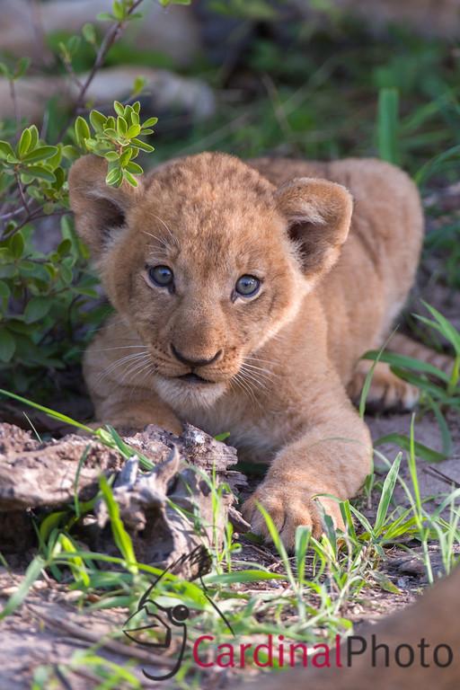 Africa -- Botswana 2102 Wildlife Photo Safari