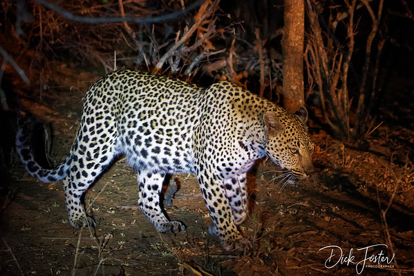 Leopard on Night Safari