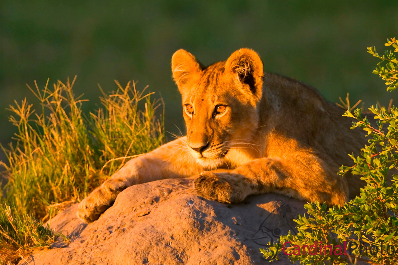 Without even seeing the nearby waterhole the viewer can imagine it by seeing the intent gaze of this young lion cub. While he is too young to participate in the hunt, he is learning quickly about his future prey. Getting in position early for this shot I was able to time it so that I got a beautifully muted background in the shade while stil having the evening sunlight to highlight the cub's face and eyes.