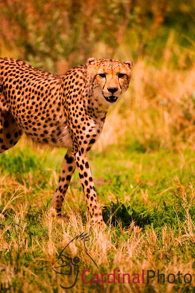 Male cheetah stalking prey in Vumbura region, Okavango Delta, Botswana