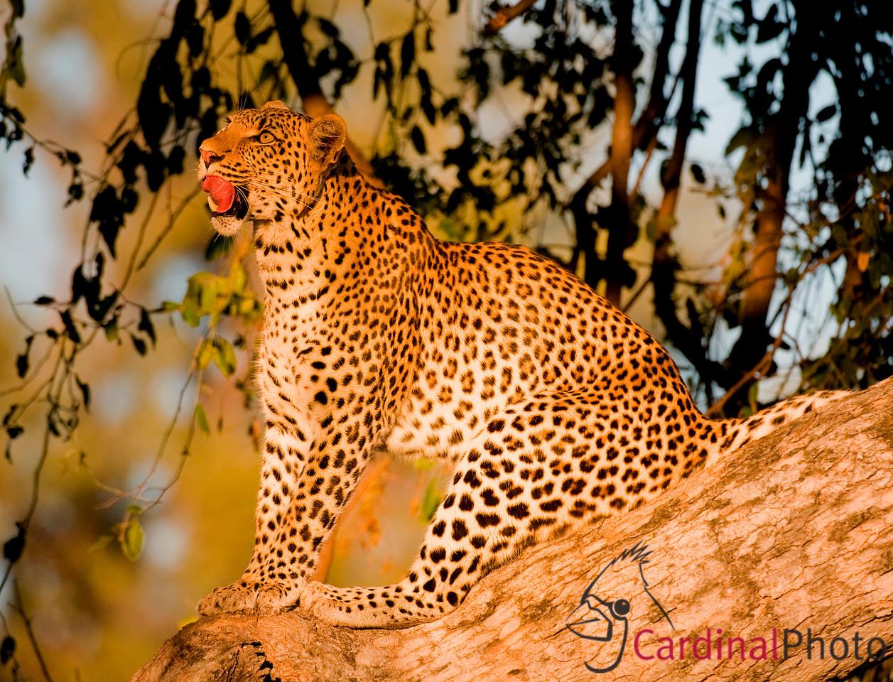 Lakadema -- Mombo, Botswana 1/ 3000s, at f/4.8    E.Comp:0    380mm    WB: AUTO 0.    ISO: 1100    Tone:     Sharp:     Camera: NIKON D3on: 2008:05:15 07:19:51