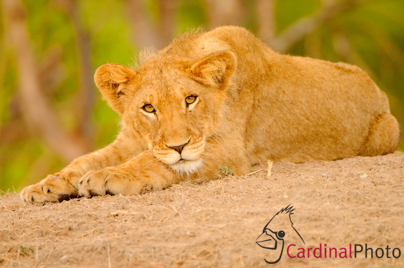 Lion cub from the Kafue pride in Kafue Park in Zambia stares at us from the safety of a termite mound behind its mother