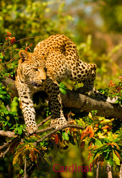 This leopard and his sister were left by their mother in a tree while she went to hunt. After a long bout of wrestling and napping in the tree when the sun started setting they began to come down for a drink. It was amazing the small branches they could balance on as they slipped and slid on their way down. Okavango Delta, Botswana