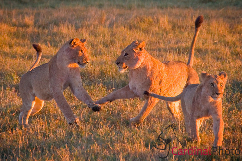 For several hours before dawn we had heard the members of the large lion pride in the Linyanti calling to each other. They had not been seen for over a week so we were quite excited that we might finally be able to find and photograph them. At first light we raced off to look for them. While the adults were beginning to work on getting in position to hunt these three youngsters came tumbling along behind them. It was worth the days of effort to get this image of the three of them in a colorful and playful pose in the warm dawn sunlight near our camp at Duma Tau on the Linyanti River channel.