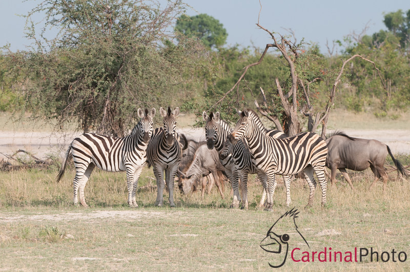 Family of Burchell's Zebra (Equus burchellii) patterned with stripes and with their young foals, Chitabe, Okavango Delta, Botswana, Africa