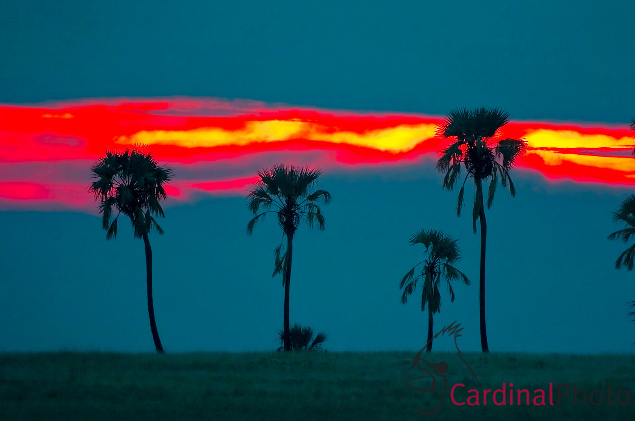 There are few landmarks in the Khalahari Desert. Early in the day we saw this row of Palm trees and imagined returning for a silhouette shot with the colors of sunset. Fortunately we were rewarded with gorgeous red and ghostly blue tones and able to get to a good vantage point to record them. Khalaharii Desert, Botswana 1/ 180s, at f/4 || E.Comp:0 || 360mm || WB: AUTO 0. || ISO: 400 || Tone: AUTO || Sharp: AUTO || Camera: NIKON D2Hon: 2006:12:09 08:48:04