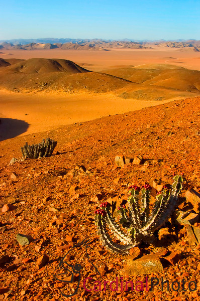 The Skeleton Coast in Namibia is dry and desolate but still full of life if you know where to find it. These Cacti point the way towards the mountains in the distance, the route traveled by Himba tribesmen as they herd their cattle from one sparse forage location to another.