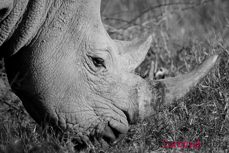 A rare White Rhino that has been released back into the wild on Mombo Island in Botswana. He's hiding the side of his horn which contains the small radio transmitter that scientists can use to track the behavior of he and the other few dozen Rhinos which have been released in Botswana.