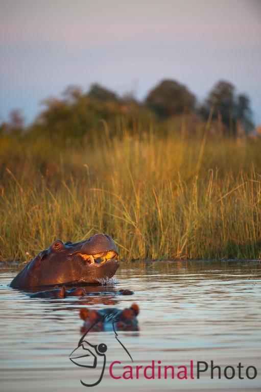 Hippos, Little Vumbura, Okavango Delta, Botswana