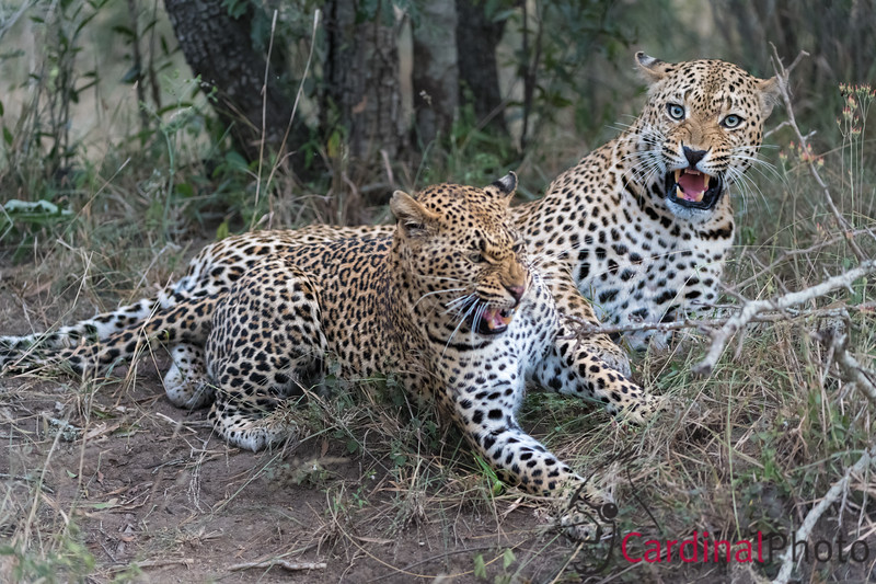 Leopard mating is a surprisingly violent process. It is very physical, and painful to the female, so the male will grab her by the neck and hold her down. This mating pair was about to mate again, after a few minutes of resting.