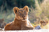 Lion Cub @ Little Bush Camp ~ Sabi Sabi, South Africa