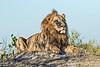 Lion Male @ Shinde Camp ~ Okavango Delta, Botswana
