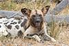 Painted Dog @ Kaingo Camp ~ South Luangwa NP, Zambia