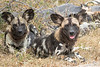 Painted Dogs @ Kaingo Camp ~ South Luangwa NP, Zambia