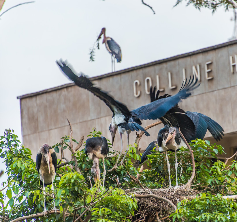 Nest of Marabou Storks