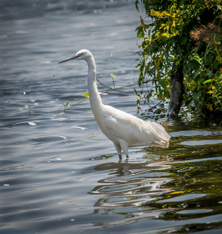 Great Egret on the river Nile