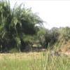 buffalo chase lions