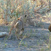 Lion cub playing with tail of auntie