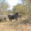 the rhinos