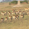 lechwe and buffalo