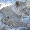 Life of a lion mom
