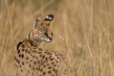 Serval cat watching