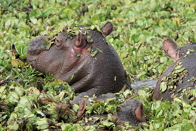 Hippos in the lettuce pond