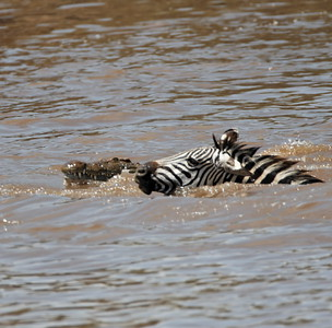 You're not alone!!  Danger lurks, but this zebra made it.  Not everyone else did.