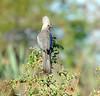 grey lourie
