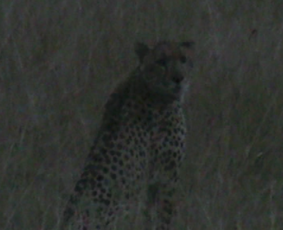 cheetah at night