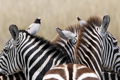 two headed zebra?